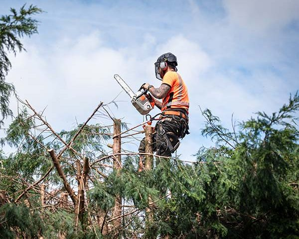 Tree Surgeon cutting top of tree off