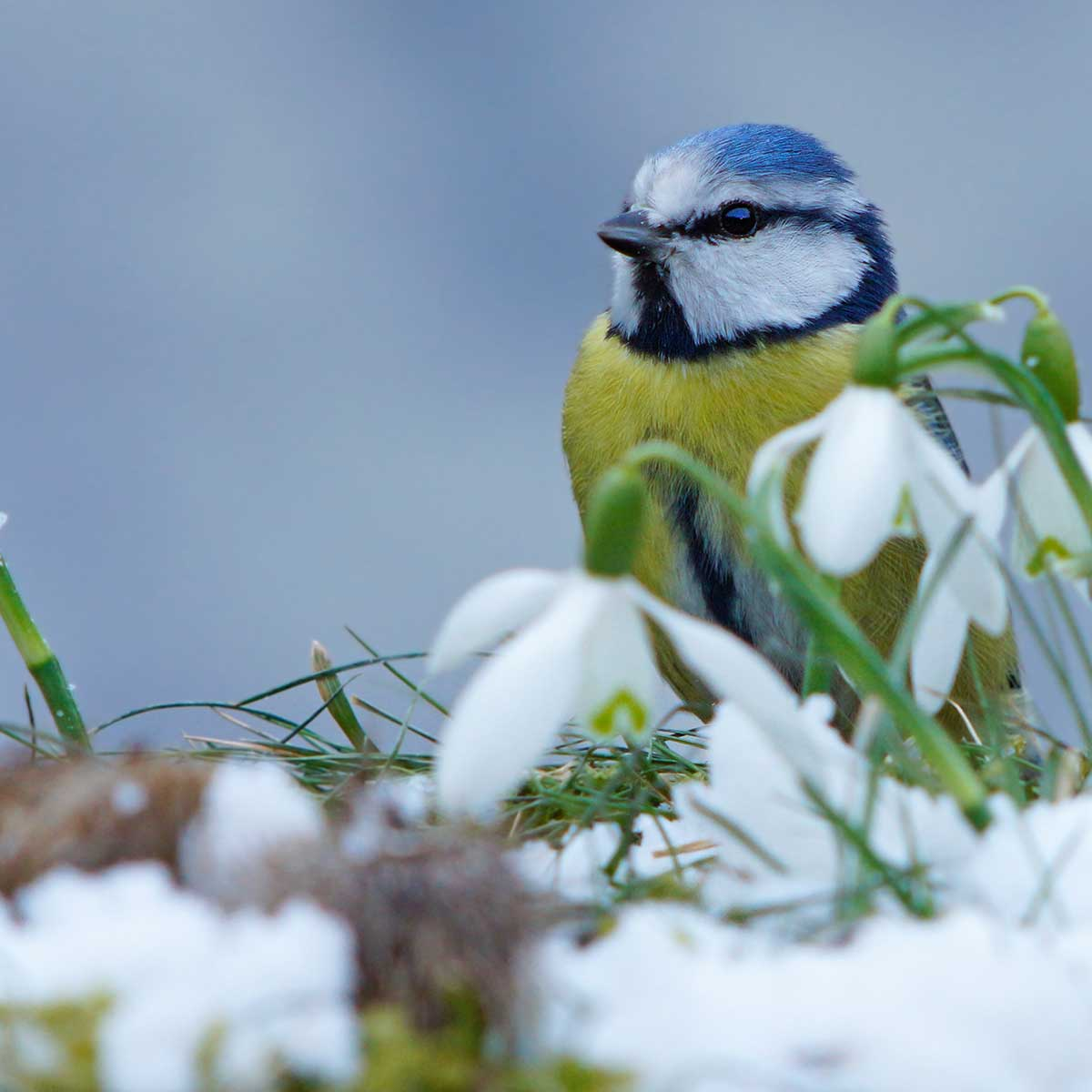 Blue Tit bird next to a snowdrop at Garden House Residential Care Home